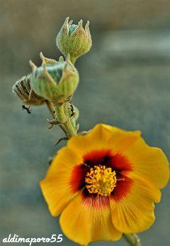 photography nature flower closeup beautifypicsart