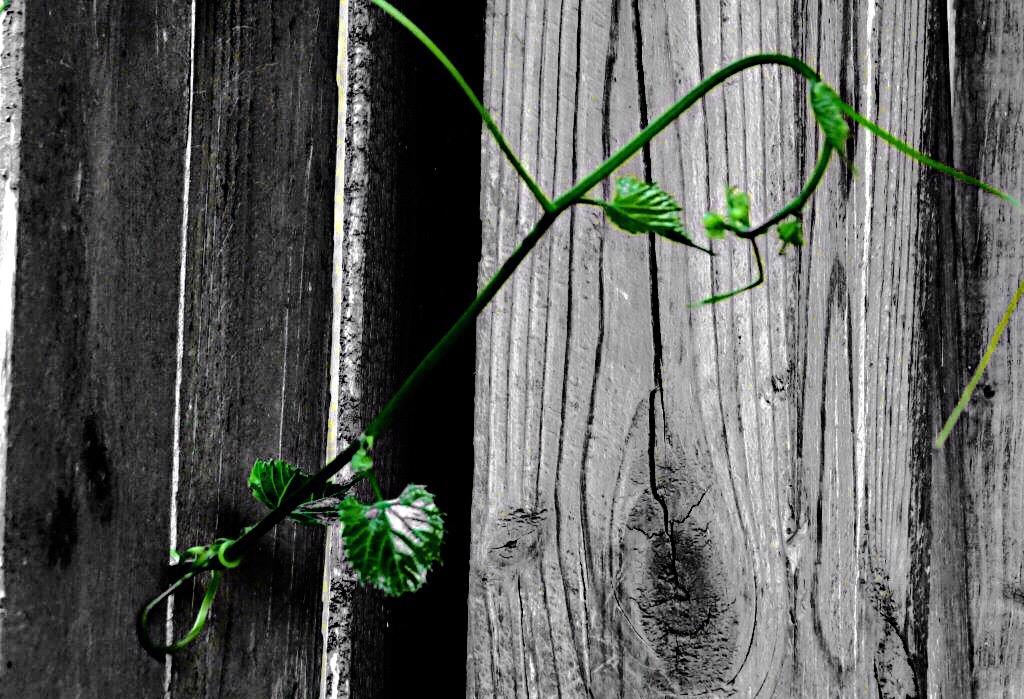 vine blackandwhite colorsplash...