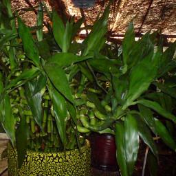 plants plantlover bamboo plants