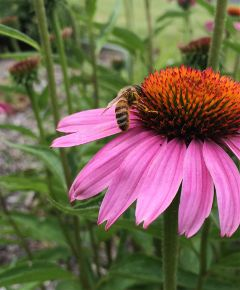 nature flower insect bee pink