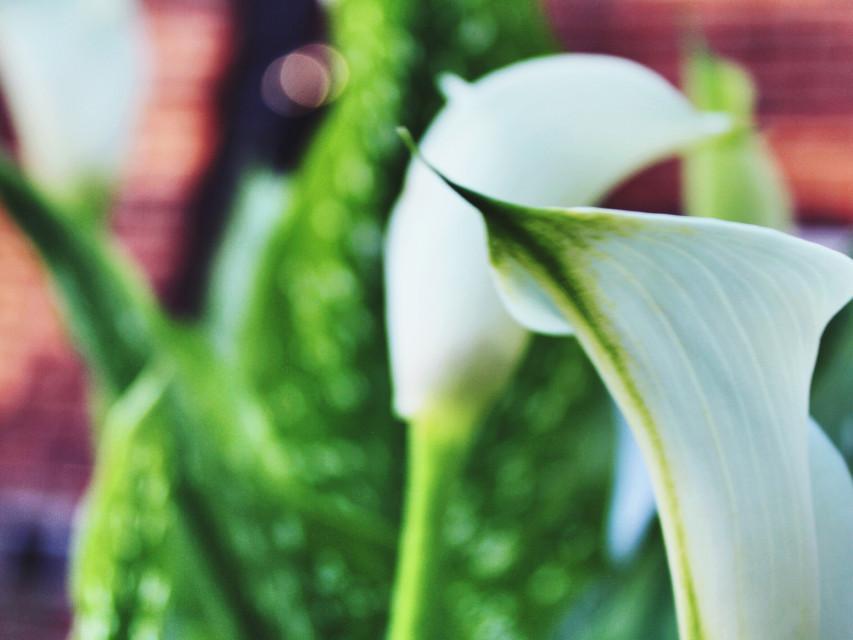 #white  #flower  #nature  #naturephotography #bokeh