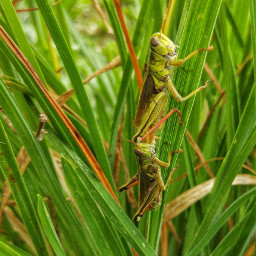 nature grasshoppers photography phonephotography