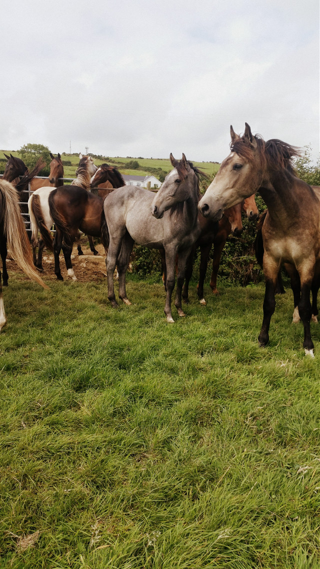 A field of beautiful young horses in Gorey, Ireland 😊💚👍   #petsandanimals #photography #horses # summer  # holiday 😊💚❤🐴