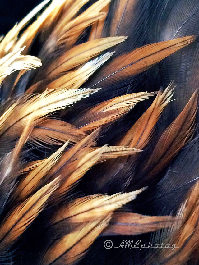 #unexpected I did not expect to hold a Golden Eagle as he took his last breath today.  But that is what God had planned for me today. 😔 Such a beautiful creature. He did not die alone on the side of the road. For that I am thankful. What an incredible monent. I took this pic of the feathers on the nape of his neck as I held him.