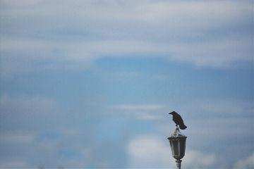 sky birds alone crow